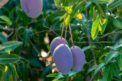 Tropical mango tree with big purple ripe mango fruits growing in orchard on Gran Canaria island, Spain. Cultivation of mango. Tropical mango tree with big ripe stock photos