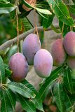 Tropical mango tree with big ripe mango fruits growing in orchard on Gran Canaria island, Spain. Cultivation of mango fruits on. Tropical mango tree with big royalty free stock photos