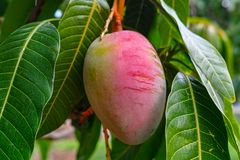 Tropical mango tree with big ripe mango fruits growing in orchard on Gran Canaria island, Spain. Cultivation of mango fruits on. Tropical mango tree with big royalty free stock photo