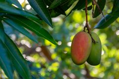 Tropical mango tree with big ripe mango fruits growing in orchard on Gran Canaria island, Spain. Cultivation of mango fruits on royalty free stock image