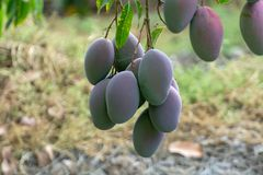 Tropical mango tree with big ripe mango fruits growing in orchard on Gran Canaria island, Spain. Cultivation of mango fruits on. Tropical mango tree with big royalty free stock images