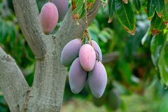 Tropical mango tree with big ripe mango fruits growing in orchard on Gran Canaria island, Spain. Cultivation of mango fruits on. Tropical mango tree with big stock photo