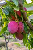 Tropical mango tree with big ripe mango fruits growing in orchard on Gran Canaria island, Spain. Cultivation of mango fruits on. Tropical mango tree with big stock image