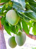 Tropical mango tree with big unripe mango fruits growing in orchard on Gran Canaria island, Spain. Cultivation of mango fruits on. Tropical mango tree with big royalty free stock images