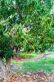Tropical mango tree growing in orchard on Gran Canaria island, Spain. Cultivation of mango fruits on plantation. Tropical mango tree after harvesting growing in royalty free stock photography
