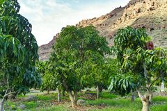 Tropical mango tree growing in orchard on Gran Canaria island, Spain. Cultivation of mango fruits on plantation. Tropical mango tree after harvesting growing in royalty free stock image
