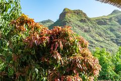 Tropical mango tree growing in orchard on Gran Canaria island, Spain. Cultivation of mango fruits on plantation. Tropical mango tree after harvesting growing in stock images