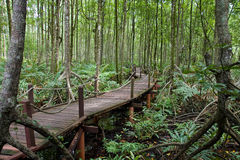 A tropical mangrove forest with boardwalk Royalty Free Stock Images