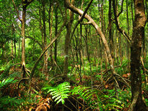Tropical mangrove forest (Malaysia) Royalty Free Stock Images