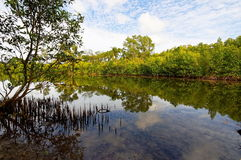 Tropical mangrove swamp with reflection Stock Image