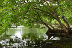Tropical Mangrove royalty free stock images