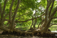 Tropical Mangrove royalty free stock photography