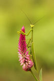 Tropical mantis Stock Photography