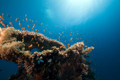 Tropical marine life in the Red Sea. Royalty Free Stock Photography