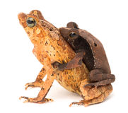 Tropical mating toads Stock Photos
