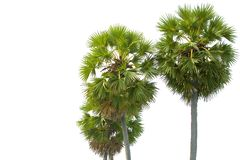 Tropical mature palm trees against white Stock Photo