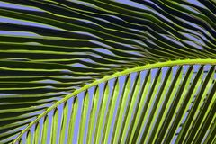 Tropical Maui Palm Tree Frond. Closeup view of a tropical Maui palm frond against a beautiful clear blue sky Stock Photo