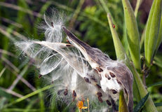 Tropical Milkweed. (also known as Bloodflower and Mexican Milkweed) (Asclepias curassavica stock image