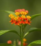 Tropical Milkweed Asclepias curassavica Royalty Free Stock Images