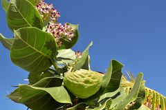 .Tropical Milkweed is a member of the milkweed family Asclepiadaceae native to the Caribbean, South America, Central America or. Tropical Milkweed is a member of royalty free stock photo