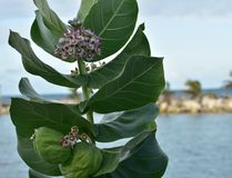 .Tropical Milkweed is a member of the milkweed family Asclepiadaceae native to the Caribbean, South America, Central America or. Tropical Milkweed is a member of stock photos
