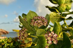 Tropical Milkweed is a member of the milkweed family Asclepiadaceae. Native to the Caribbean, South America, Central America or Mexico royalty free stock photo