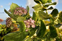 Tropical Milkweed is a member of the milkweed family Asclepiadaceae. Native to the Caribbean, South America royalty free stock photos