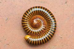 Tropical Millipede Stock Photos