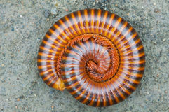 Tropical millipede  on ground Stock Images