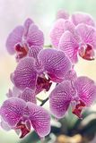 Tropical miracle Orchid. On the windowsill is in bloom a beautiful Orchid.Lilac veined flowers attract admiring glances Royalty Free Stock Images