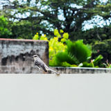 Tropical mocking bird resting on the wall square composition Stock Images