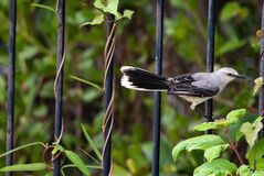 Tropical Mockingbird on an iron gate in Mexico Stock Photo