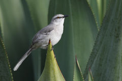 Tropical Mockingbird (Mimus gilvus rostratus) Stock Images