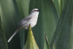 Tropical Mockingbird (Mimus gilvus rostratus) Stock Photography