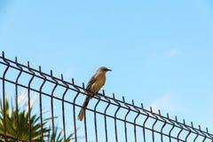 Tropical Mockingbird Royalty Free Stock Image