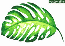 Tropical monstera leaf Stock Image