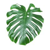 Tropical monstera leaf isolated. On white Stock Images