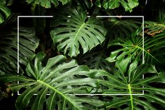 Tropical monstera leaf texture, foliage nature green background.  royalty free stock images