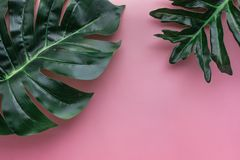 Tropical monstera leaves on color backgrounds.Botanical. Nature concepts.flat lay design Stock Image