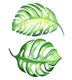 Tropical monstera leaves. Tropical exotic leaves, monstera. Watercolor illustration