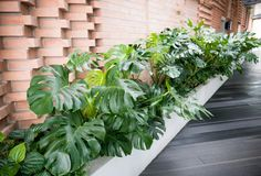 Tropical monstera plants Stock Photo