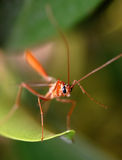 Tropical mosquito Royalty Free Stock Photos