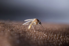 Tropical mosquito. Mosquito prepare to suck the human blood Stock Photography
