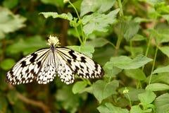 Tropical moth: Idea Leuconoe Royalty Free Stock Images