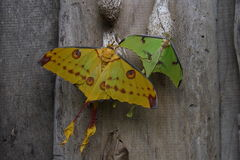 Tropical moths. Pair of giant tropical moths one yellow and one green Stock Image