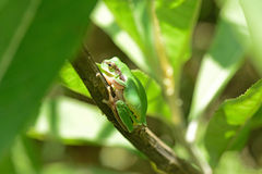 Tropical mountain tree frog Royalty Free Stock Images
