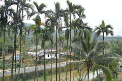 Tropical mountain village. The mountain village behind areca trees royalty free stock image