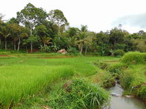 Tropical. Natural rice field Royalty Free Stock Images