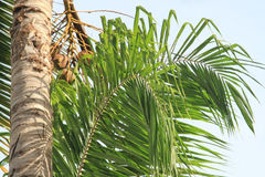 Tropical nature background. Leaves of palm tree on blue sky background Royalty Free Stock Image