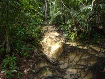 Intertwined tree roots on jungle trail. Tropical nature, forest royalty free stock photos